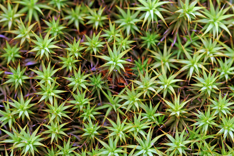 Green Moss Background (Polytrichum commune) royalty free stock photo
