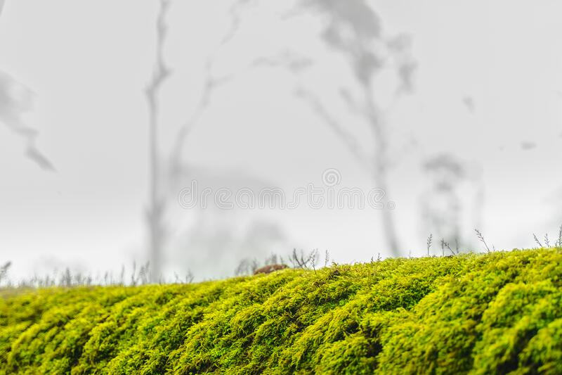 Green moss on bark tree in forest. foggy trees on background. damp weather. mossy background for wallpaper. macro close view. On lush lichen natural surface stock photography