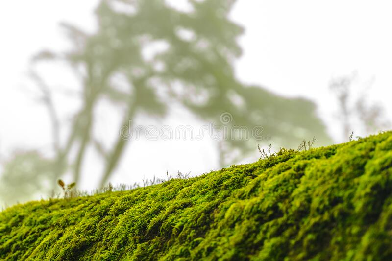 Green moss on bark tree in forest. foggy trees on background. damp weather. mossy background for wallpaper. macro close view. On lush lichen natural surface royalty free stock image