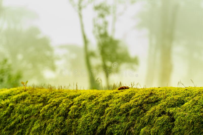 Green moss on bark tree in forest. foggy trees on background. damp weather. mossy background for wallpaper. macro close lush. Green moss on bark tree in forest royalty free stock photos