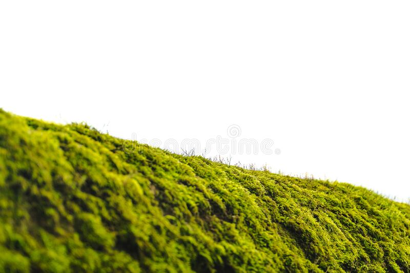 Green moss on bark tree in forest isolated on a white. foggy trees on background. damp weather. mossy background for wallpaper. Macro close view on lush lichen stock image
