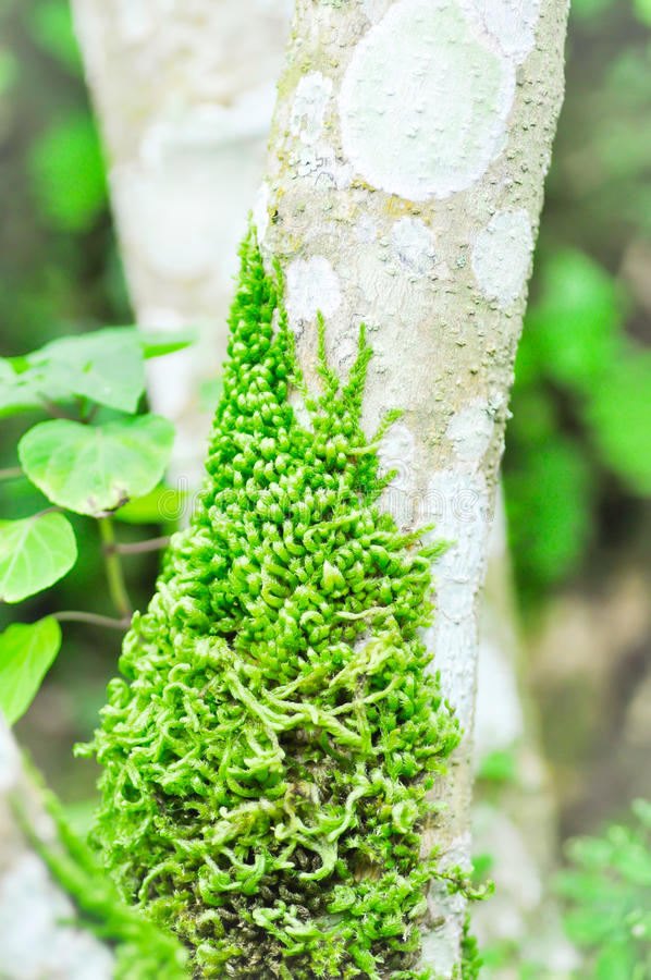 Green moss climbing up the branch of a tree royalty free stock images