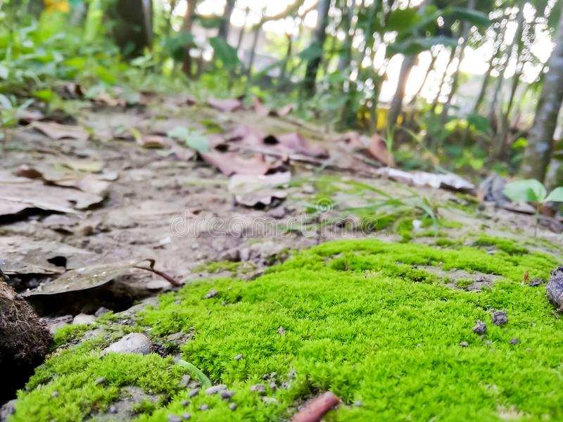 Green moss closeup.moss in the forest. Green moss covered the soil on the ground.moss texture. stock image