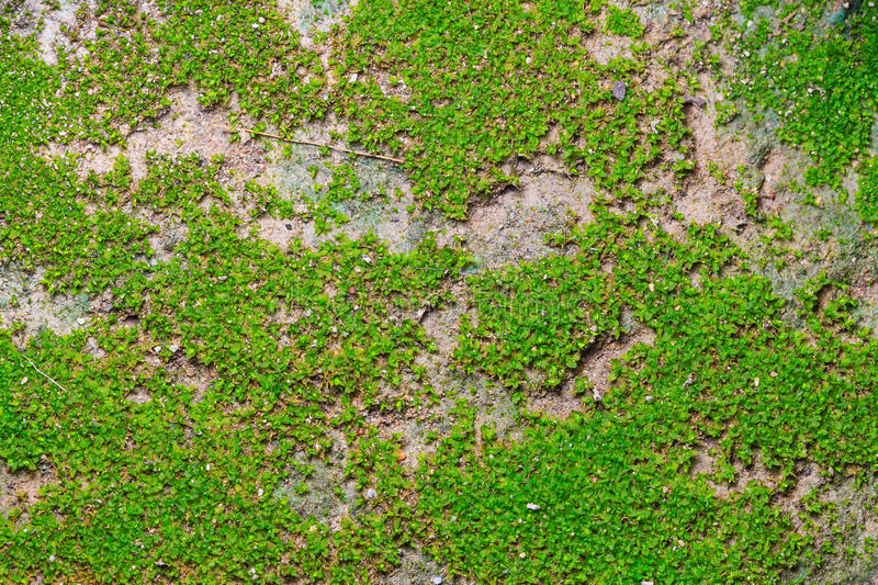 Green moss on concrete floor background. Abstract green moss on concrete floor background stock photos