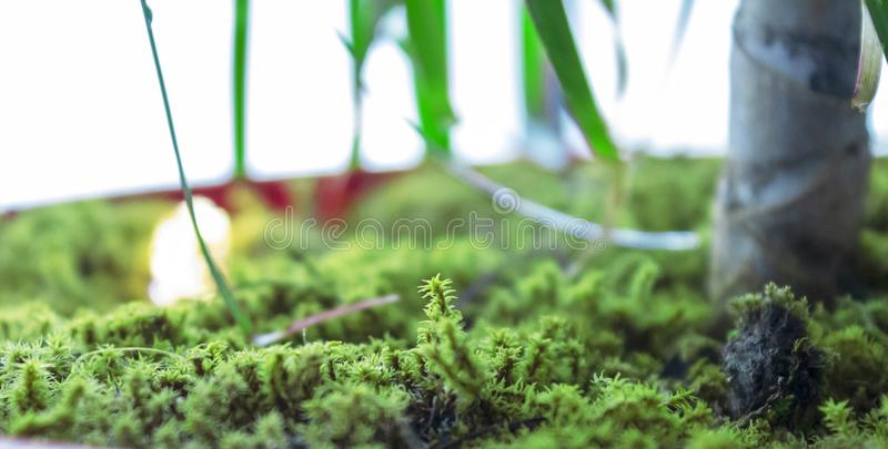 The green moss covered flower pot. Green moss-covered pots create a more natural environment in interiors. You may think add moss into the pot during home royalty free stock photography