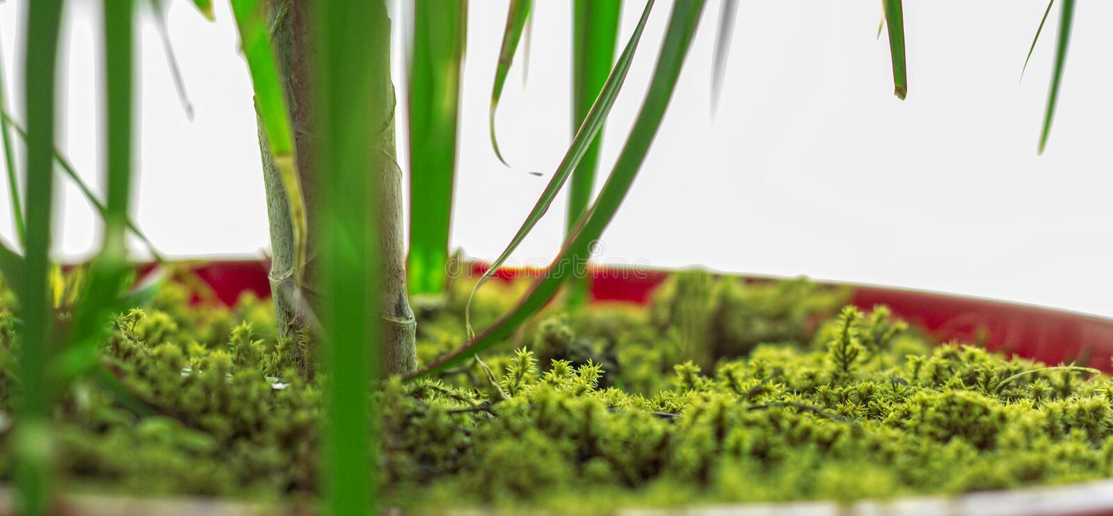 Green moss covered flower pot. Green moss-covered pots create a more natural environment in interiors. You may think add moss into the pot during home royalty free stock images