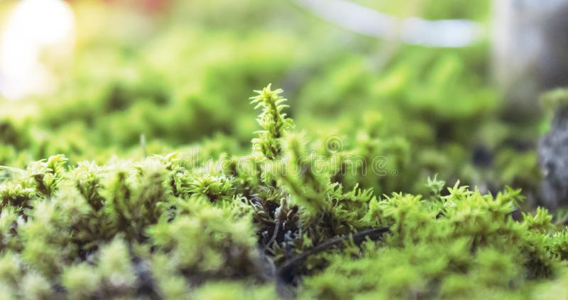 The green moss covered flower pot. Green moss-covered pots create a more natural environment in interiors. You may think add moss into the pot during home royalty free stock photos