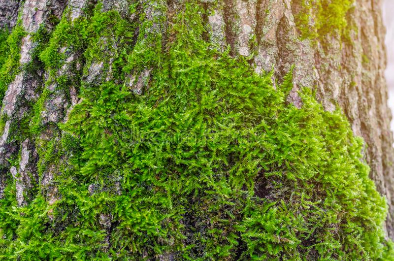 Green moss in the forest at the bottom of the tree trunk. Nature background. Ecology. Deforestation. Environmental protection stock photos