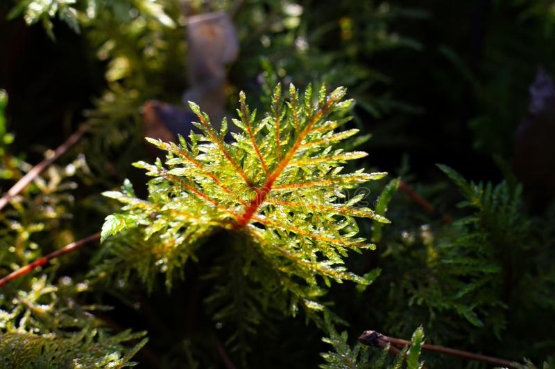 Green Moss in the Forest - macro photo royalty free stock photo
