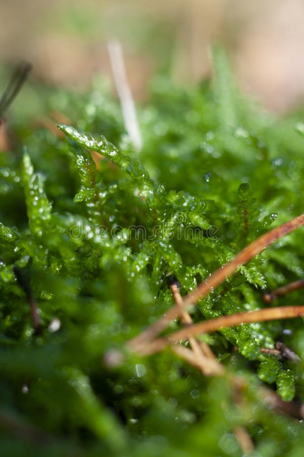 Green Moss in the Forest royalty free stock images