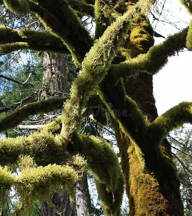 Green moss growin on limbs of tree royalty free stock photo