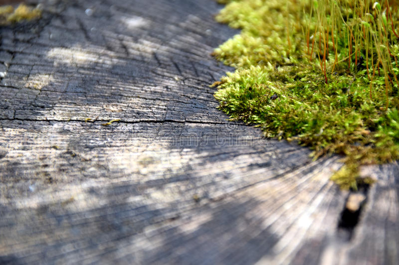 A green moss growing in the middle of a log royalty free stock image