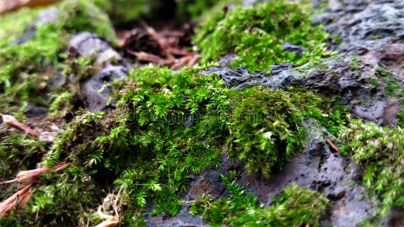 Moss growing over the rocks royalty free stock image