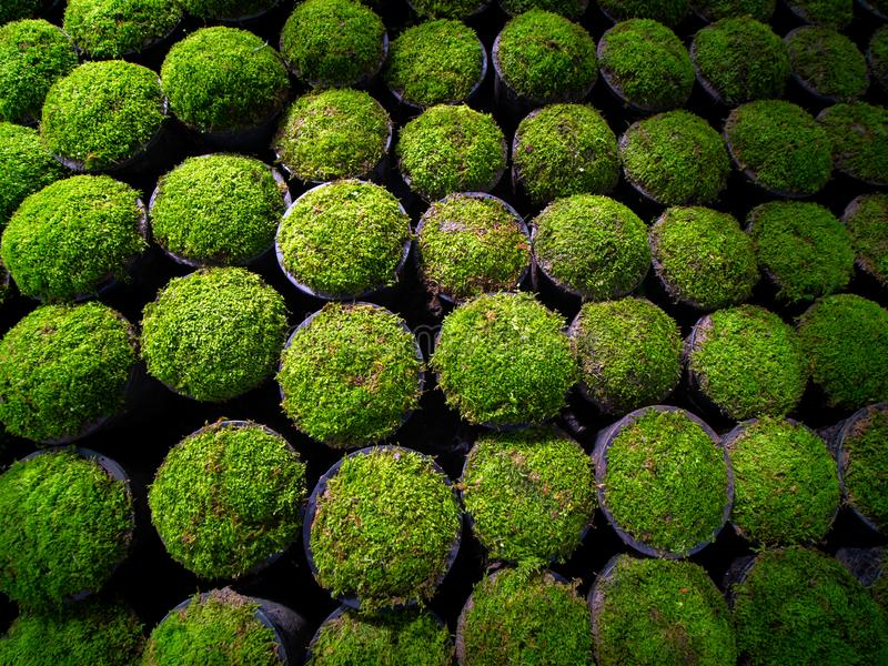 Green Moss Growing in The Pots. The Green Moss Growing in The Flower Pots in Tree Shop stock photo