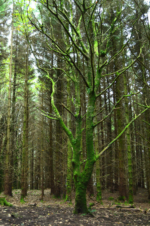 Green Moss Growing on the Trees on the Isle of Skye royalty free stock photos