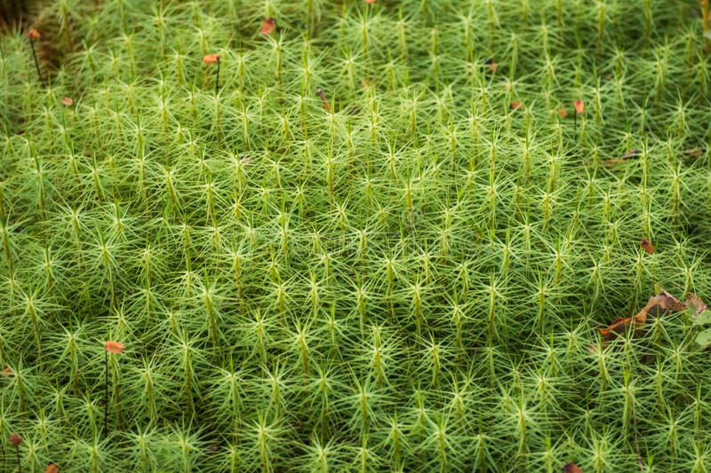 Green moss in the Karelian forest. stock images