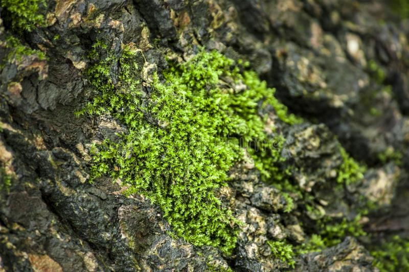 Green moss lichen, rough bark. Green moss with rough trees, hd moss material, green plant background stock photos