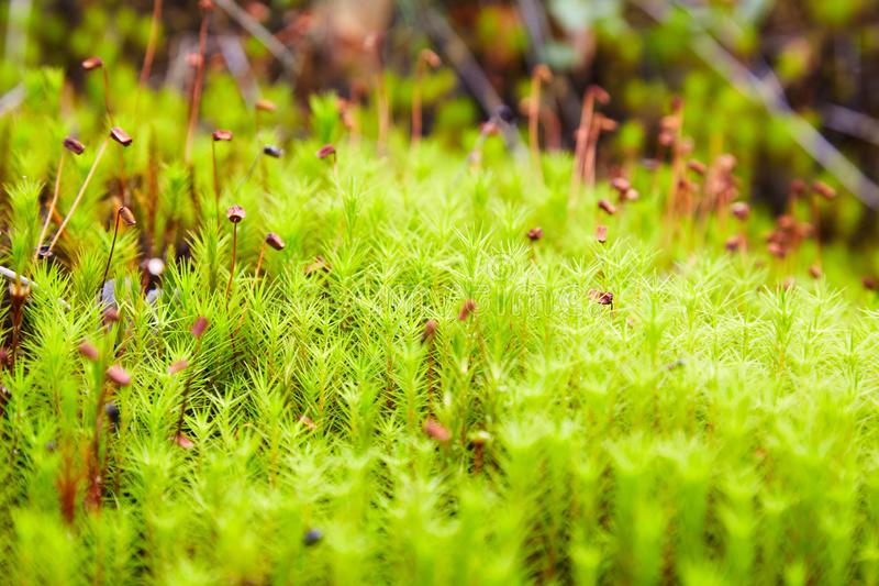 Green moss Polytrichum commune growing. At the forest in summer. Selective focus stock photo