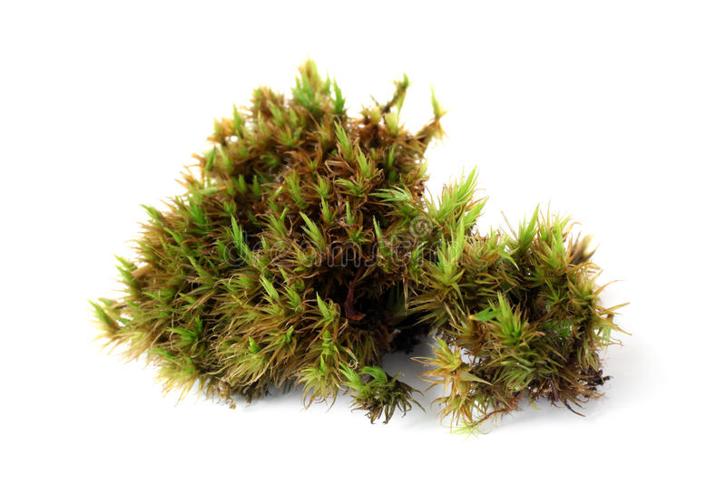 Green moss (Polytrichum commune). On white bakground royalty free stock images