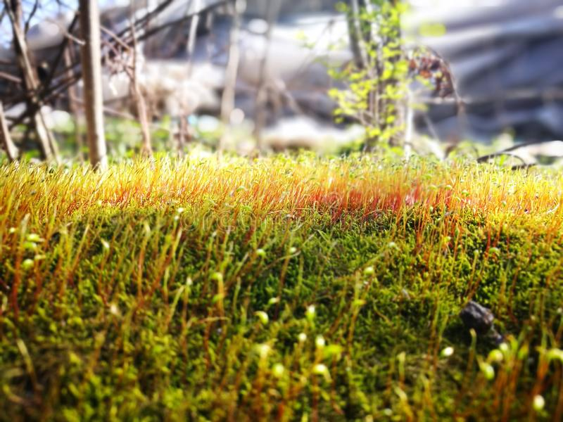 Green moss with red stem royalty free stock images