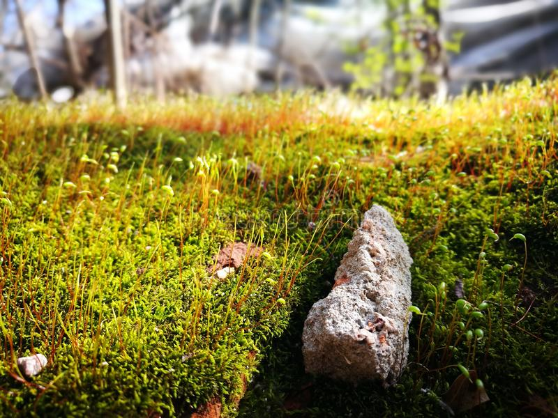Green moss with red stem royalty free stock image
