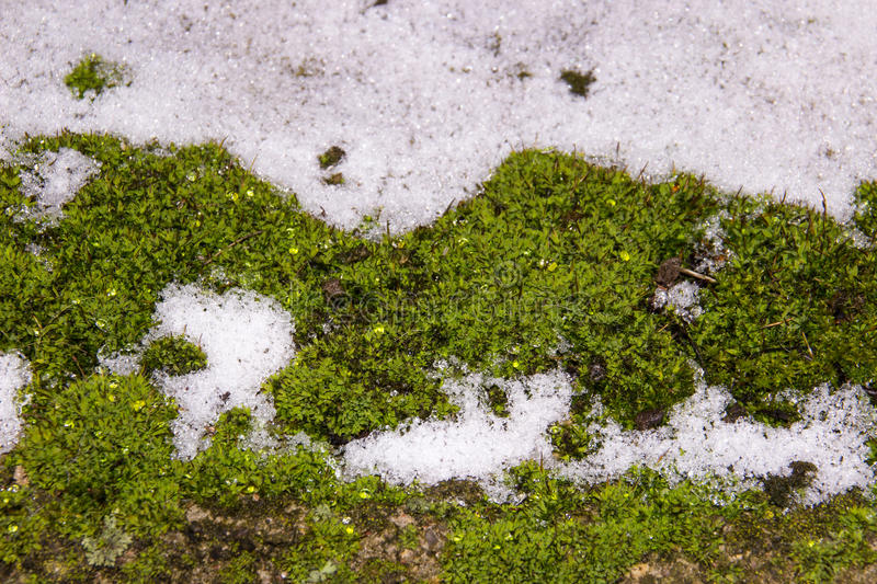 Download Green Moss In Snow In Winter. Stock Photo - Image: 83721735