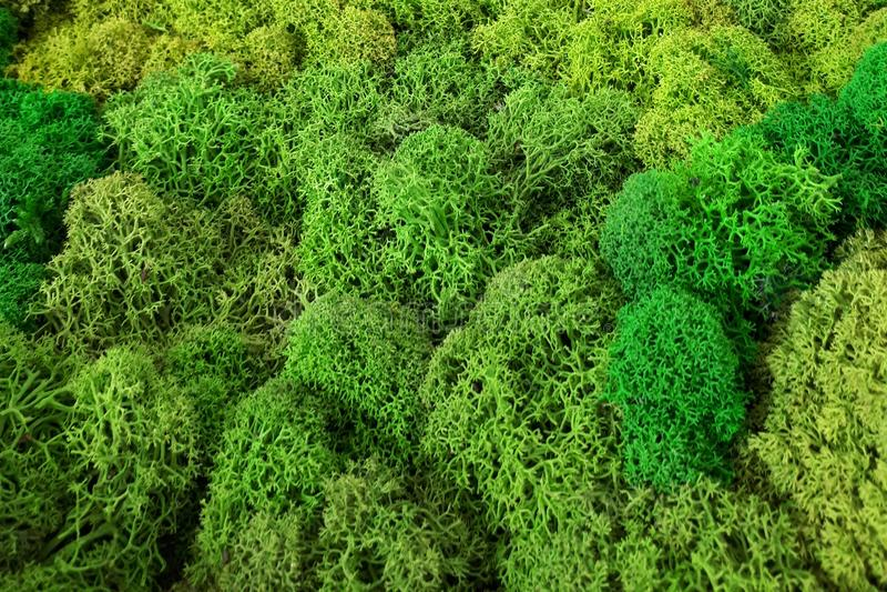 Green moss texture, backdround macro. Green moss texture, backdround closeup stock images