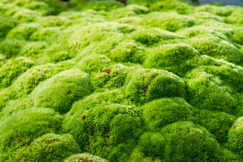 Green moss royalty free stock photography
