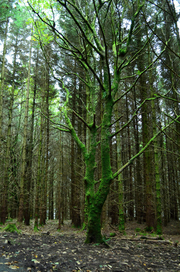 Green Moss on a Tree at Dunvegan Scotland royalty free stock photos