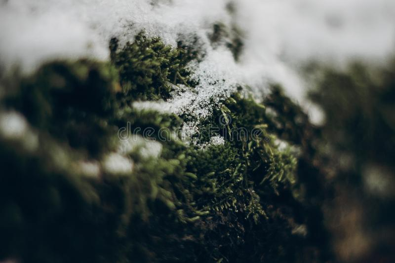 Green moss on tree under snow. plants close up in snowy winter p stock photography