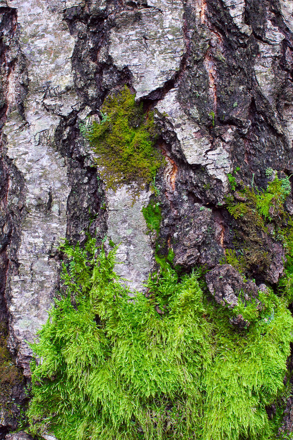 Green moss on the trunk of birch tree. Closeup royalty free stock photos