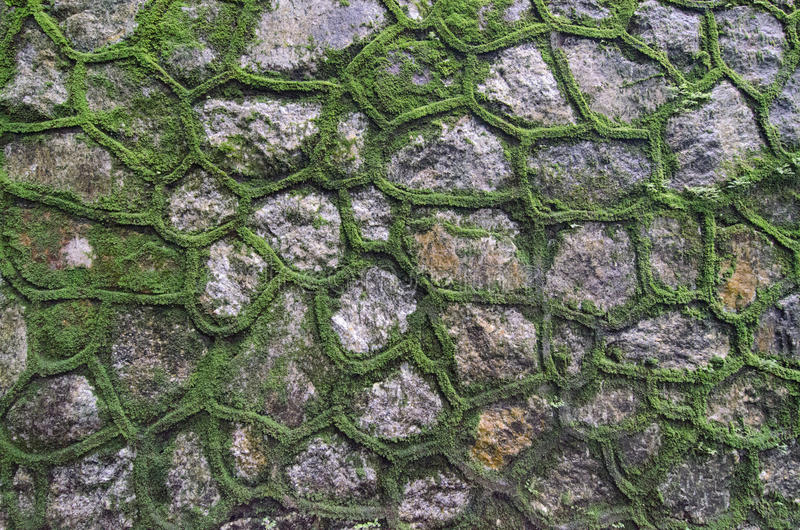 Green Moss Wall. Green moss growing through the gaps of stone wall stock images