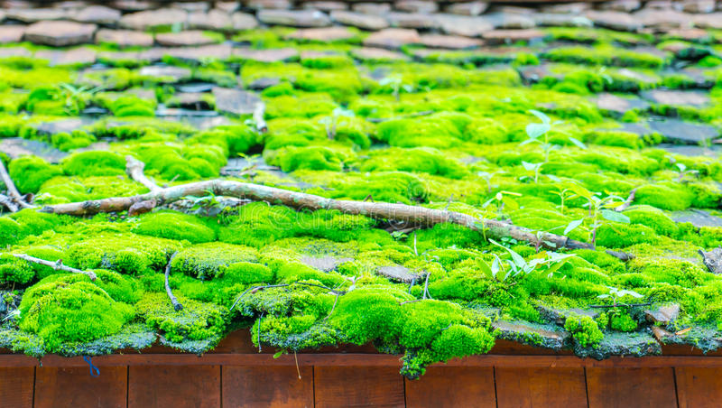 Green moss on the wood roof . stock images