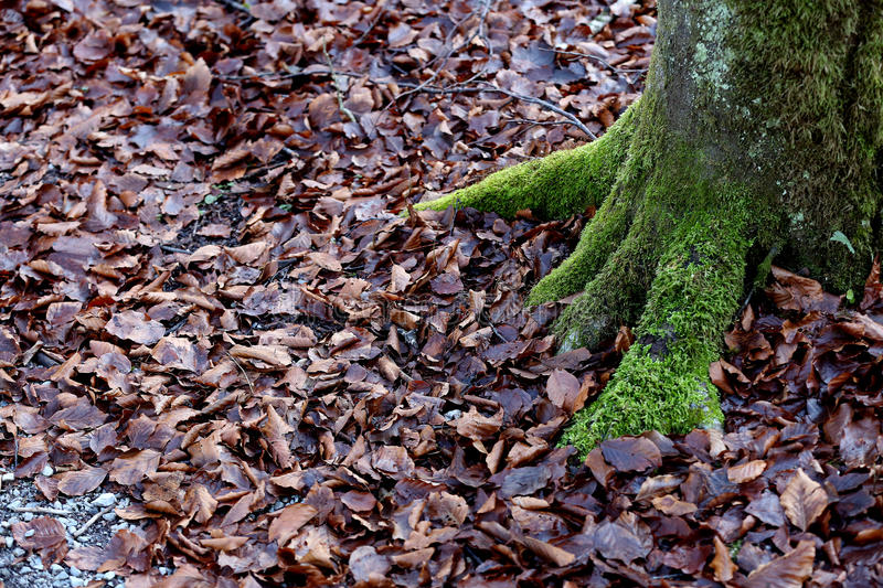 Green moss in the woods. Bark with moss in the forest stock photos
