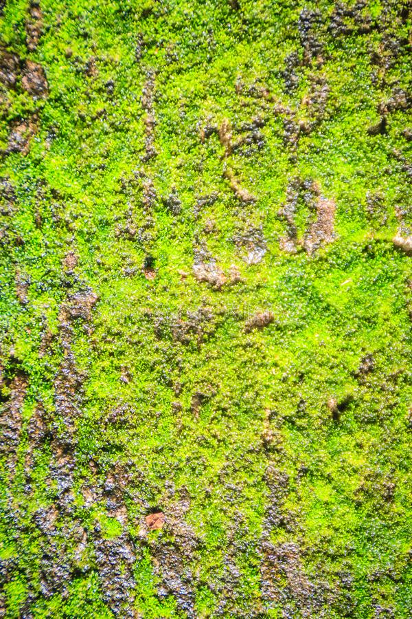 Green mossy background cover the rough stones in the tropical forrest. Gray stone with green moss texture background. Closeup old. Stone overgrown with green stock photography