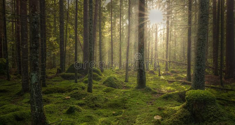 Green mossy forest with beautiful light from the sun shining stock photography