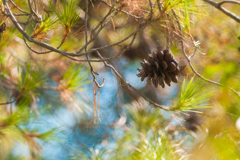 Green mountain pine Pinus mugo closeup with young cones on blurred colorful autumn forest background with beautiful bokeh. stock image