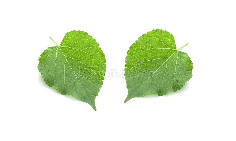Green Mulberry leaf isolated on white background royalty free stock photos