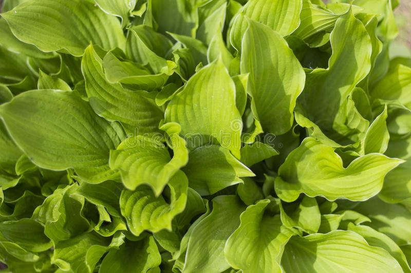 Green natural background abstract green leaf hosts .the view from the top.  royalty free stock images