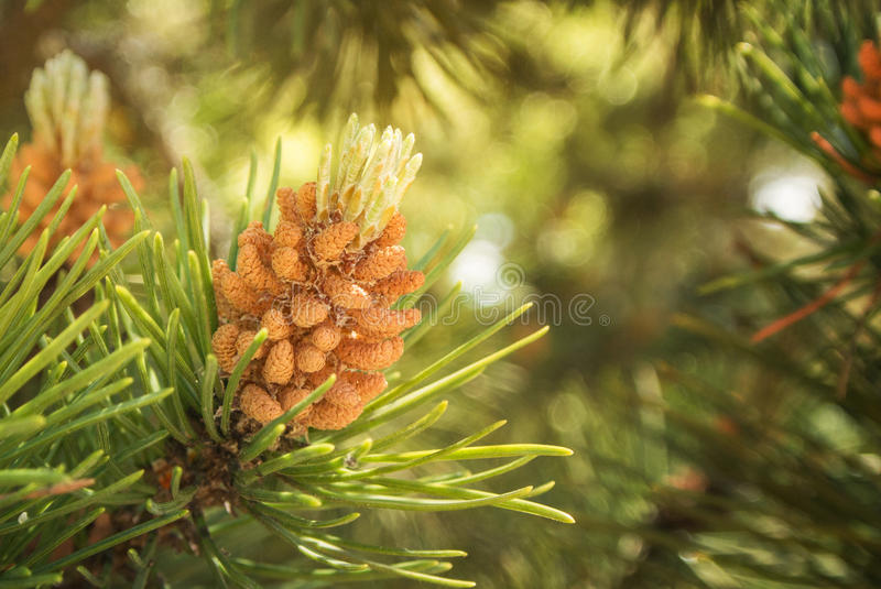A green natural background with close-up view of a branch of pine flowering at the forest on sunny day, Kaliningrad region royalty free stock photography