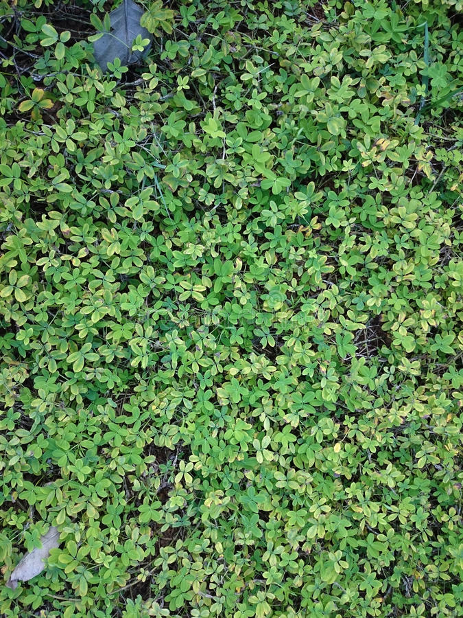 Green natural background of small leaves. Greenery summer or spring grass carpet texture. Blueish solid leaf surface vertical pat. Tern stock photos