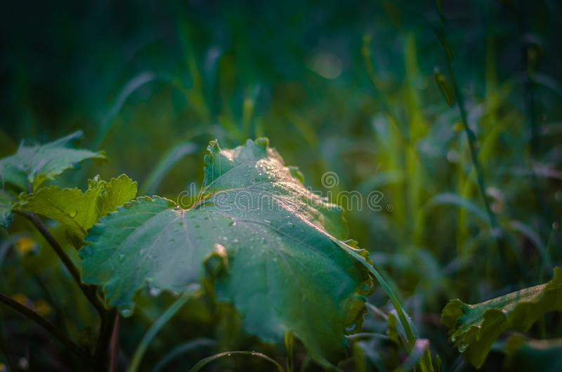 Green natural semi-blurred background of field grasses and burdock leaf. Sun glare in drops of dew. royalty free stock photos