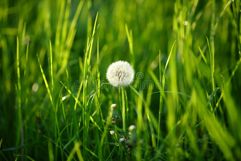 Green nature background with one dandelion royalty free stock photos