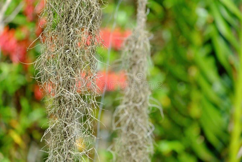 Spanish Moss Hanging On Tree Stock Image - Image of ...