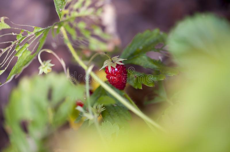 Wild strawberry berry growing natural environment royalty free stock image