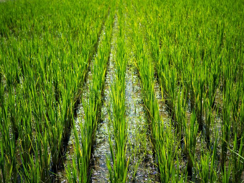 Green nature landscape with Paddy jasmine rice field in Thailand stock image