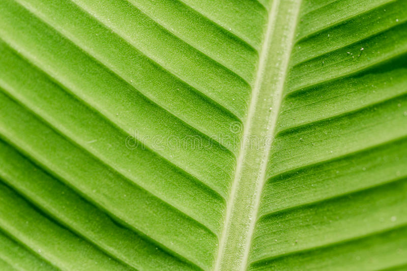 Green nature leaf texture in details as natural background or wa stock photo