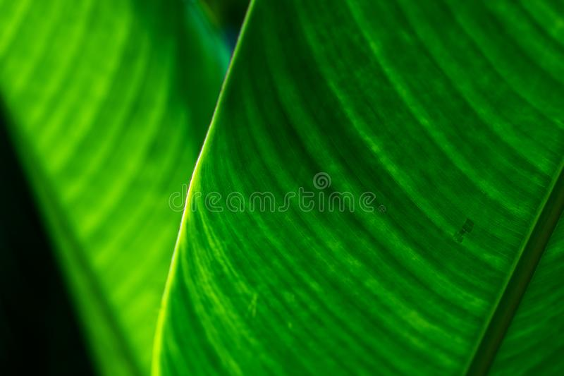 Green nature tropical  leaves, Close up selective focus of heliconia leaves. Green foliage nature background royalty free stock photo