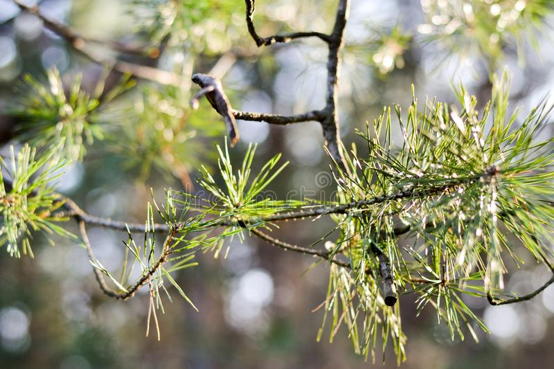Green needle pine tree . Small pine cones at the end of branches. Blurred pine needles in background royalty free stock images