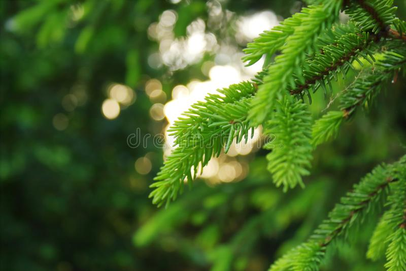 green needles ate in the light of the evening sun royalty free stock images